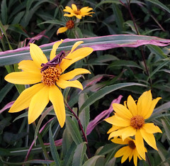 image (Arbiella) Tags: ranch flower rural texas cattle cows yellowflower grasshopper grimescounty