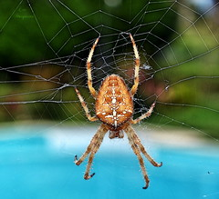 Aracnofilia... (Leo ) Tags: naturaleza macro garden spider spiderweb araa jardn araneae telaraa prosoma pedipalpo opistosoma quelcero aracnofilia aracnologa