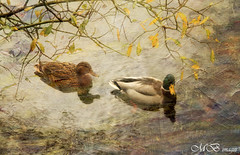 Two little ducks (maureen bracewell) Tags: uk autumn lake texture digitalart lakedistrict ducks cumbria cannon