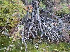 Tangle (jamica1) Tags: canada nature creek bc okanagan columbia british winfield preserve lakecountry