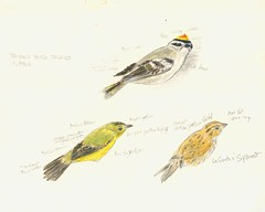 Kinglet, Sparrow, and a Warbler (Art and Nature-Mike Sherman) Tags: wild art birds watercolor drawing upperpeninsula graphite northwoods boreal birdbanding opaquewhite passerines birdringing tintedpaper paradisemichigan whitefishpointbirdobservatory wpbo