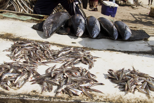 Big and small fish at the market in Bagamoyo, Tanzania. Photo by Samuel Stacey, 2013.