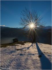Un arbre du Thyl au soleil couchant