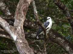 Gavião-branco (Pseudastur albicollis)