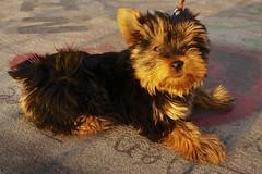 Bridge of Love - Providencia - Santiago de Chile (a l o b o s) Tags: chile bridge santiago dog cute love de puente los sony perro per mascota providencia enamorados nex5r