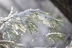 Snow on Pine (Carol.lynn7161) Tags: snow ice pine needles