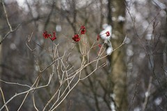 red (eilyselyse) Tags: red berry berries michigan branches snowybranches wixommichigan wixomnaturepreserve wixomwetlands