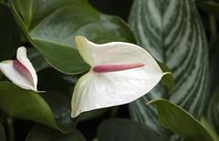 Spade Spathe (scholarerrant) Tags: pink white plant flower unitedstates pennsylvania anthurium araceae longwoodgardens flamingoflower spathe laceleaf kennettsquare tailflower cultivar alismatales anthuriumsp