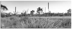 On the course B & W (Brett Huch Photography) Tags: bw nature grass australia qld queensland grasses aussie sunshinecoast caloundra