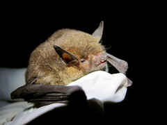 Gray Bat (nessiegrace) Tags: conservation caves research endangered biology mammals bats chiroptera myotis graybat grisescens