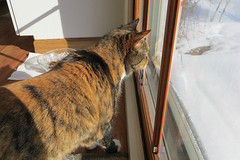 Gracie 21 January 2014 9405Ri 4x6 (edgarandron - Busy!) Tags: cats cute cat gracie feline tabby kitty kitties tabbies patchedtabby