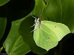 Citron (Gonepteryx rhammi) (zogt2000 (No Video)) Tags: winter butterfly garden hiver jardin bretagne papillon citron gonepteryxrhammi buzznbugz bugsssss