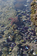 (sarabuchner) Tags: ocean california vacation starfish sealife newportbeach mussels tidepools underthesea