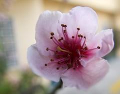 Peach Flower (McMexicano ) Tags: flower nature canon flor peach powershot durazno g16 peachflower flordeldurazno guillermobuelna