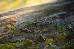 Fin de journe (Pics_Fab) Tags: green nature vert feuille lierre picsfab