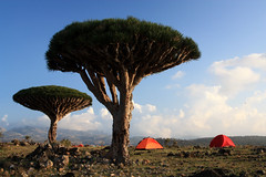 Dixam Pateau Socotra (lercherl) Tags: travel de tour tur agency yemen viaggio visite turu yaman wycieczka excurso socotra reisebro jemen turas   jemenas    sokotra  pelancongan   jemena   jeemenis    turneju ferina