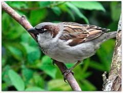 Sparrow on green! (macfudge1UK) Tags: uk england male bird nature fauna spring squirrel europe branch britain wildlife gb perch housesparrow oxfordshire avian oxon 2014 britishbirds allrightsreserved britishbird bbcspringwatch hs50 fujihs50 fujihs50exr fujifilmfinepixhs50exr fujifilmhs50exr hs50exr