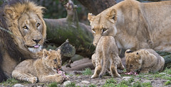 Busy lion family
