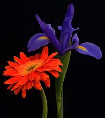 Petal Plumage (njk1951) Tags: iris spring blooms springflowers twoflowers onblack gerberadaisy purpleiris orangegerbera springcolor pairofflowers