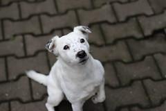 untitled (jaadiee) Tags: dog white black cute jack russel terrier