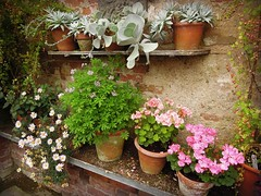pots (catherine329) Tags: summer greenhouse herefordshire geranium flowerpots stocktonbury