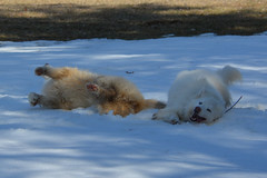 """Chase & Jag Imitating Each Other On A SNOW ROLL  18 • <a style=""""font-size:0.8em;"""" href=""""http://www.flickr.com/photos/96196263@N07/14192464186/"""" target=""""_blank"""">View on Flickr</a>"""