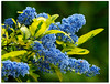 Beautiful blue and gold! (macfudge1UK) Tags: uk england plant flower nature leaves leaf spring bush flora europe blossom britain lilac gb bloom variegated shrub ceanothus oxfordshire oxon 2014 californialilac ©allrightsreserved hs50 naturethroughthelens awesomeblossoms fujihs50 fujihs50exr fujifilmfinepixhs50exr fujifilmhs50exr hs50exr variegatedceanothus