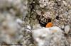 Zebra Spider (Salticus scenicus) (Veg_Brush) Tags: macro cute eye nature spider wildlife arachnid small zebra hiding predator camoflage median invertebrate araneae salticus scenicus salticidae palp