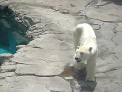 Polar bear 2014.05.30 (TaoTaoPanda) Tags: animal polarbear ojizoo