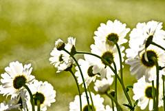 Camera Graphics (Shutterbuglette) Tags: flowers light summer sun detail sunshine daisies garden intense heat shasta goldenhour backlighting gooddaysunshine flickrfriday highkeyimage cameragraphics shutterbuglette backlitdetail