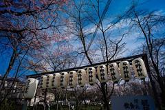 L1071856 (Four_cats) Tags: 京都 平野神社 圓山公園 leicam9 voigtlanderultron21mmf18aspherical