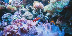 Nemo (Out of Focus [sic]) Tags: nemo clownfish mallofamerica underwaterworld