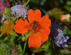 Take your pick (Fletty Flicks) Tags: flowers summer england plants nature insect petals wings july wiltshire mygarden striped hoverfly
