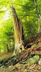 Fracture (Programator2) Tags: tree green broken forest woodland woods hill slovakia fracture snag banskabystrica bole banskbystrica urpn