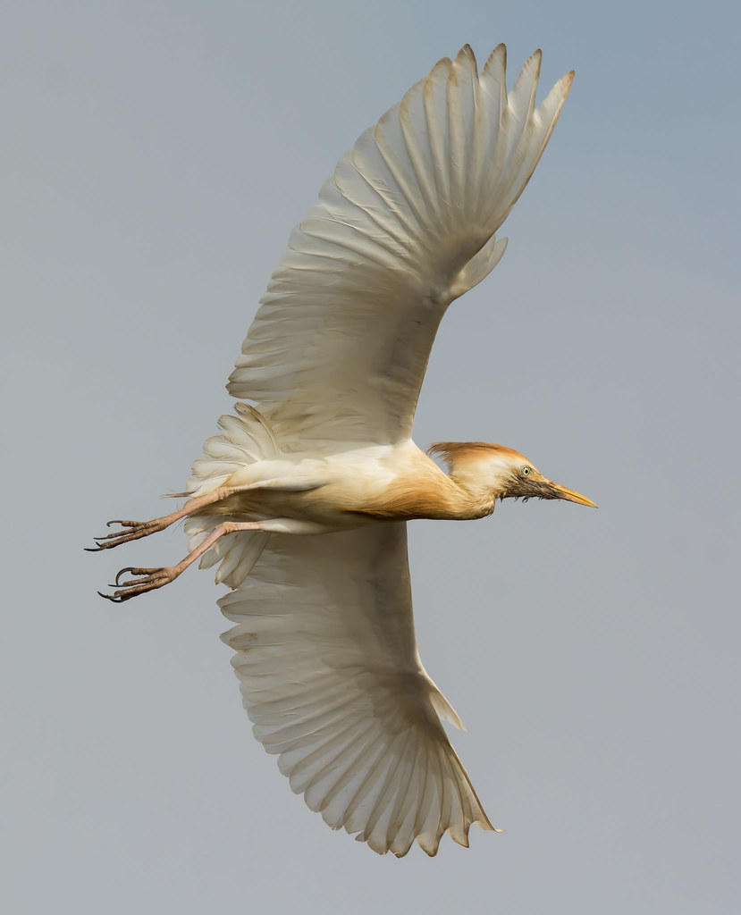 The World's most recently posted photos of egret and ...