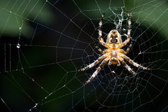 Spider (Simon Didmon) Tags: