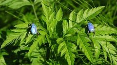 DSC_5788-1-  Hoplia coerulea, machos. (serie de 2 fotos +) (Eduardo Seguy) Tags: hopliacoerulea