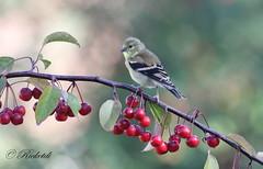 Chardonneret jaune juvnile - American Goldfinch juvenile (ricketdi) Tags: bird cantley chardonneretjaune chardonneret americangoldfinch spinustristis