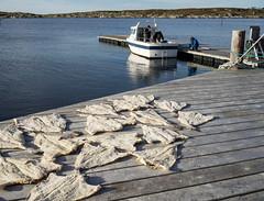 clipfish on the pier at Gjsingen, Frya (harald.bohn) Tags: torsk cod klippfisk kai kyst frya froan bt boat pier autumn hst oktober october trndelag norge norway