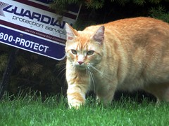 IMG_0341 (kennethkonica) Tags: animalplanet pet canonpowershot canon marioncounty global random hoosiers america usa midwest indiana indianapolis indy fun outdoor whiskers cat felines yard grass animaleyes sign green prowl tabby