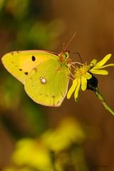 Souci d'octobre (jpto_55) Tags: papillon insecte souci macro bokeh xe1 fuji fujifilm xf55200mm hautegaronne france
