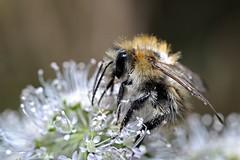 Hummel im Herbst 3 (DianaFE) Tags: dianafe insekt blume pflanze tiefenschrfe schrfentiefe makro freihandmakro hummel dianae