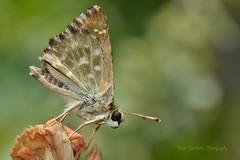 Cacharodus alceae (Nikos Roditakis) Tags: cacharodus alceae hesperiidae mallow skipper cretan butterflies greek european skippers nikos roditakis macro tamron af sp 90mm f28 di vc usd