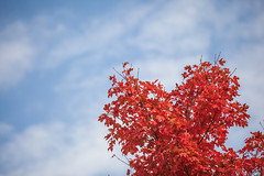 Maple in Fall (michaelraleigh) Tags: 200mm path landscape f28l serene highquality aftonstatepark canon statepark red morning maple silhouette beautiful trees secluded sun sky outdoors bokeh canoneos5dmarkii closeup minnesota field
