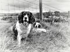 Mollie & Rupert On The Lane (Explored) (Missy Jussy) Tags: mollie rupert dog dogwalk dogportrait fence newhey rochdale springerspaniel spaniel englishspringer england canon blackwhite bw blackandwhite littledoglaughednoiret
