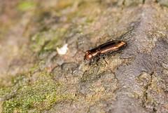 Ground Beetle - Notiophilus Sp. (Tubs McHam) Tags: dof sigma105mm tubsmcham groundbeetle macro sonyalpha beetle nature carabidae a300 coleoptera sony insect matthewpaullewis marumiringflash notiophilussp