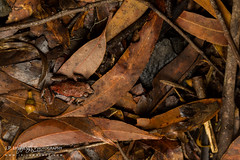 Copper-backed Brood Frog (J.P. Lawrence Photography) Tags: 2016 amphibians amphibia amphibian anura anuran australia2016 broodfrog copperbackedbroodfrog copperbackedtoadlet frog frogs herp herpetology herps myobatrachidae pseudophryne pseudophryneraveni salientia spring2016 travel vertebrates vertebrata vertebrate australia greatsandynationalpark queensland