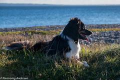 Looking for a go (Flemming Andersen) Tags: grass autumn beach nature border colli dog green yatzy outdoor hund animal bordercolli hurupthy northdenmarkregion denmark dk