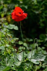 Plant me red poppies... (Nanny Bean) Tags: juntakami poppies red wildflower