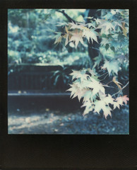 Maple Bench (Skink74) Tags: colorsx70 england film hursley impossibleproject instant polaroid polaroidlandcamera sx70 sx70alpha1se uk autumn polaroidweek2015 roidweek bench maple leaves garden acer fern